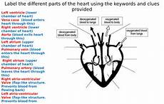the heart diagram label worksheets differentiated