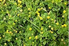 Unkraut Im Rasen So Bek 228 Mpfen Sie Diese 5 Arten