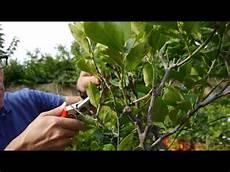 bäume schneiden bei zitronenbaum schneiden