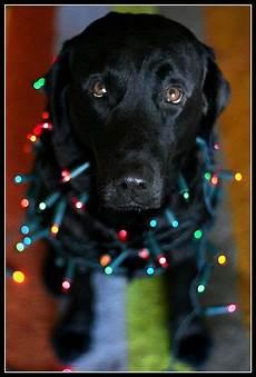 black labrador retriever merry christmas card puppy holiday dogs santa claus dog puppies