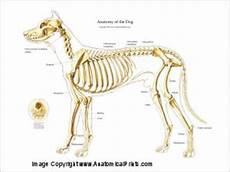 dog canine muscular and skeletal anatomy poster 24 36