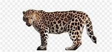 Jaguar Amur Leopard Felidae Gambar Png