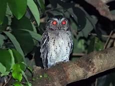 Burung Hantu Yang Tidak Perlu Kita Takuti Mongabay Co Id