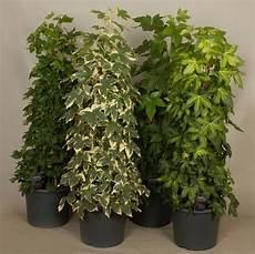 zimmerpflanzen f 252 r wenig licht 25 gr 252 ne und bl 252 hende