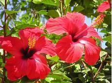 hibiscus entretien l hibiscus est un arbuste 224 fleurs originaire d asie issu