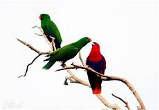 Fantastis 10 Gambar Burung Nuri Bayan Richa Gambar