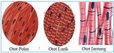 Gambar Otot Polos Pengertian Ciri Jenis Dan Bagiannya