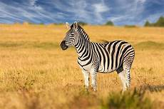 zebra bild how many types of zebras are there worldatlas com