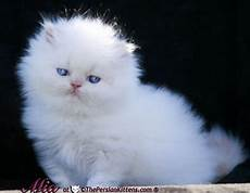 gatti persiani regalo cerco gatto persiano piccolo in regalo petpassion