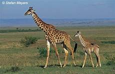 die giraffe we are in forest girafee