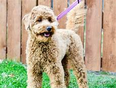 semi short haircut on a goldendoodle goldendoodles body clips in 2020 goldendoodle goldendoodle grooming dog haircuts