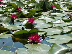 fiore di ninfee e fior di loto in giro per il mondo