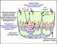 development how do processes of one osteocyte establish