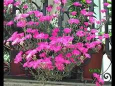 piante grasse fiori fucsia le mie piantine grasse piante succulente il guardiano