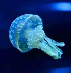 malvorlagen quallen jung spotted lagoon jellyfish lagunenquallen quallen welt