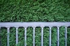 blaue scheinzypresse pflanzen 187 so machen sie s richtig