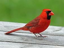 Birds Of The World Cardinals And Tanagers Cardinalidae