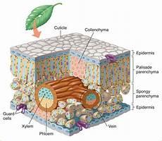 Dunianya Sari Struktur Dan Fungsi Jaringan Pada Tumbuhan