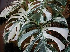variegated monstera quot philodendron quot spectacular