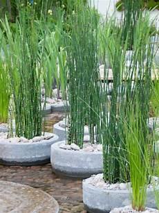 prele du japon en pot equisetum japonicum equisetum hyemale var japonicum