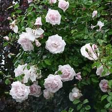 rosier ancien grimpant les rosiers grimpants et lianes anciens roses guillot