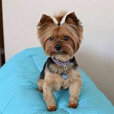 21 best yorkie haircuts images pinterest yorkies animals and yorkie haircuts