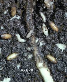 cabbage maggots cooperative extension insect pests
