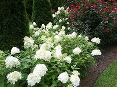 209 best limelight hydrangea images on