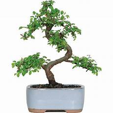 Brussel S Elm Bonsai Small Outdoor Walmart