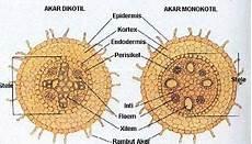 Struktur Akar Tumbuhan Anatomi Dan Morfologi Duflora