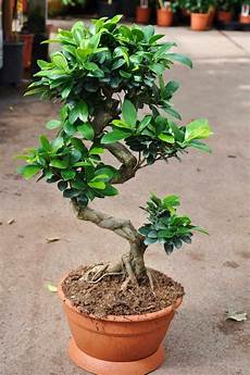 Ginseng Bonsai Pflege Ficus Ginseng Pflege 29