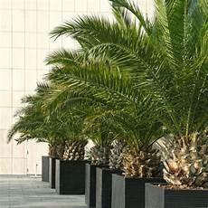 pot pour palmier exterieur palmier canariensis en pot de 15cm hauteur avec