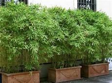 roter bambus fargesia jiuzhaigou winterhart und schnell