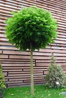 baum für vorgarten kugelb 228 ume in jedem garten ein hingucker kugelbaum