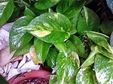 Garden Care Simplified Why Money Plant As Feng Shui