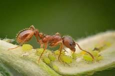 hausmittel gegen ameisen im garten 10 hausmittel gegen sch 228 dlinge im garten plantura