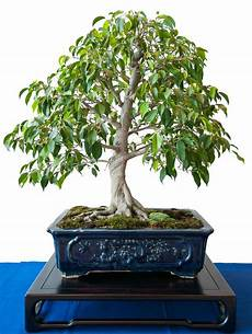 birkenfeige ficus benjamini als bonsai baum bonsai