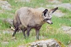 le chauve souris renard 224 oreilles de chauve souris wikip 233 dia