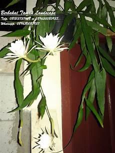 Pohon Wijaya Kusuma Bunga Putih Jual Pohon Wijaya Kusuma