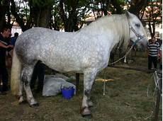 cavallo pomellato razze cavalli percheron