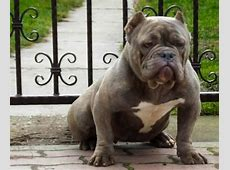 American Bully Dog Breed Information, Images