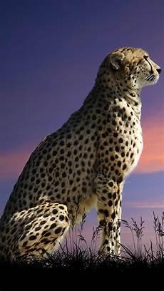 cheetah wallpaper for iphone free cheetah wallpaper for phone pixelstalk net