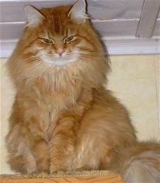 sibirische katzen kitten kaufen verkaufen markt de