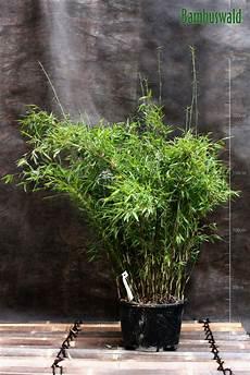 bambus f 252 r hecken bambuswald bambus und pflanzenshop