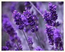 Bilder Lavendel Xh65 Casaramonaacademy