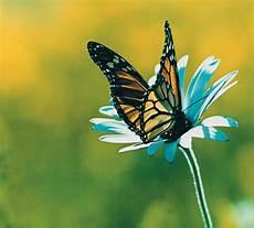 fiori di loto e farfalle petali di loto trasformarsi in farfalla o m aivanhov