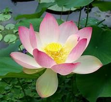 nelumbo lotus a to z flowers