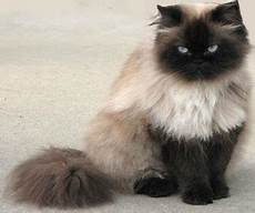 himalayan cats meow meow s land cat info whats the difference