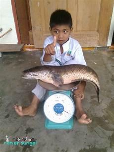 Renjer Sungai Rekod Terbaru Ikan Haruan Soonseng