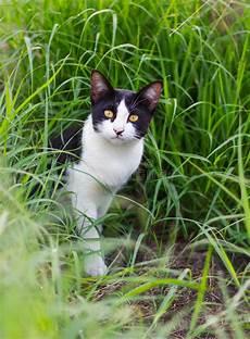 schwarzweiss katze im gras stockfoto bild schauen